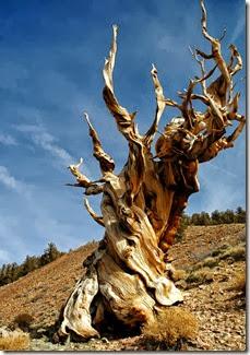 methuselah-tree-Clinton-Steeds
