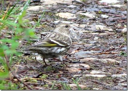 Pine Sisken gathering nesting material
