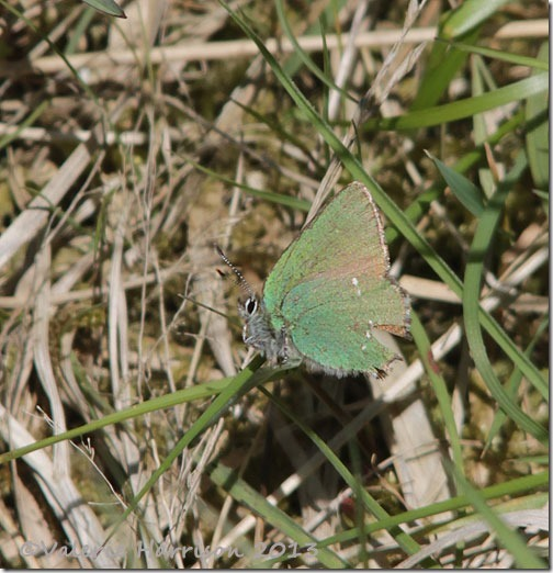 2-green-hairstreak