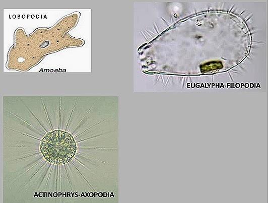 Pseudopodia-protozoa