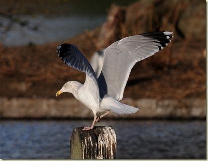 Argentatus Herring Gull