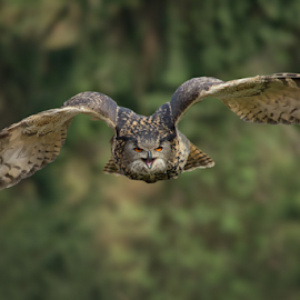 Bubo bubo by Michael Milfeit - Animals Birds ( uhu, greif, eule, bubo bubo, owl, eagle owl,  )