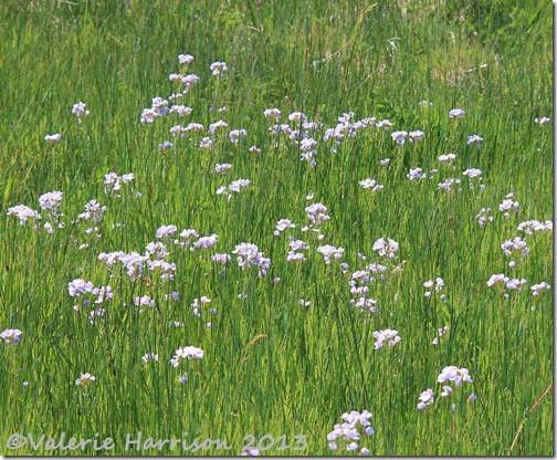 8-cuckoo-flowers