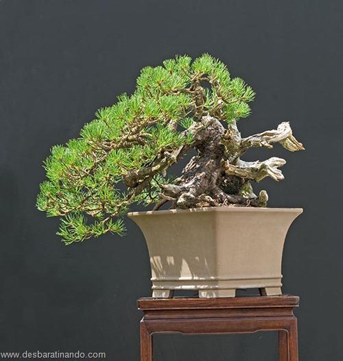 bonsais arvores em miniatura desbaratinando (85)