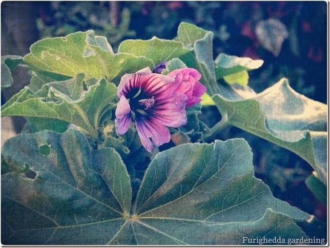 malva, wild gardening, spontanee