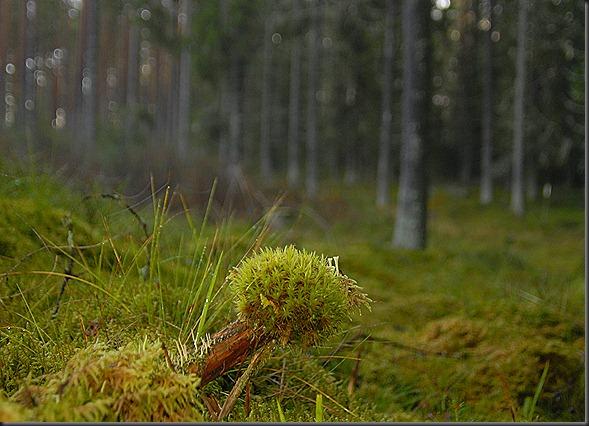suomalainen syys metsä suppilovahvero 068