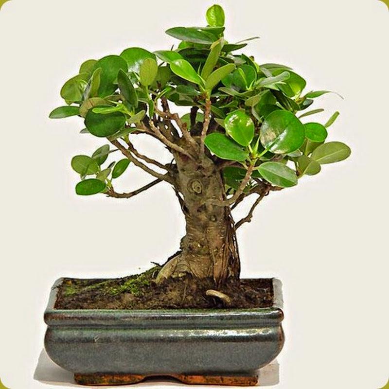 Il ficus di Formosa è il bonsai da interno per antonomasia.