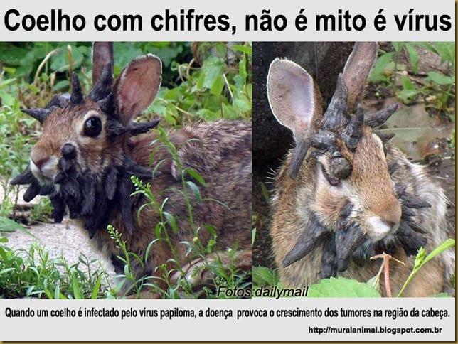 coelho_chifres2