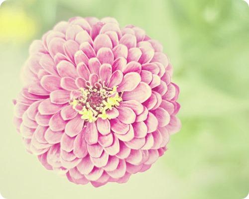 Katie Lloyd princess pink zinnia