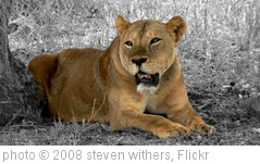 'Lioness at Tsavo East' photo (c) 2008, steven withers - license: http://creativecommons.org/licenses/by/2.0/