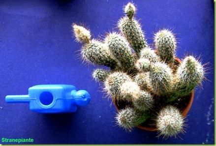 come bagnare le succulente
