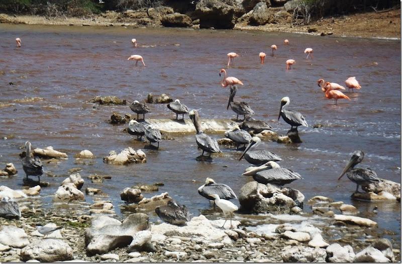 022k pelikane u flamingos