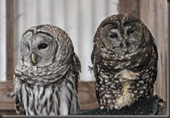 barred-owl-left-and-spotted-owl-portland-zoo_595