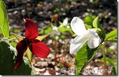 SueReno_Red,WhiteTrillium