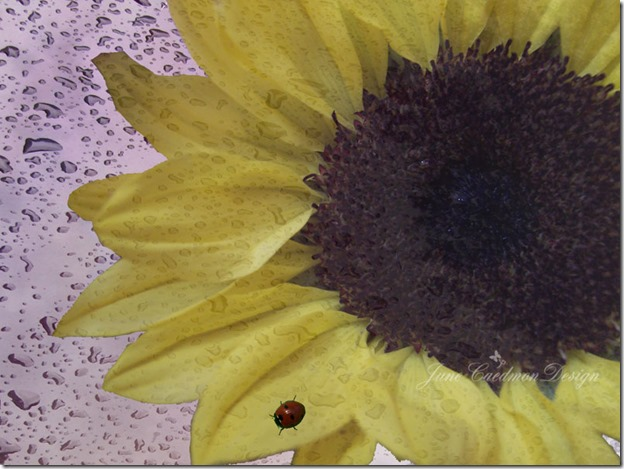Sunflower_Ladybug