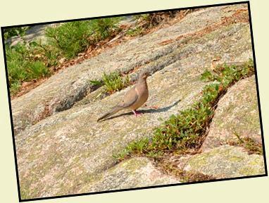 03d2 - Schiff Path - wildlife sighting - dove