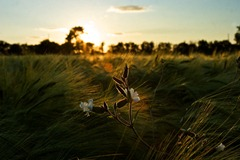 Summer-Barley-5