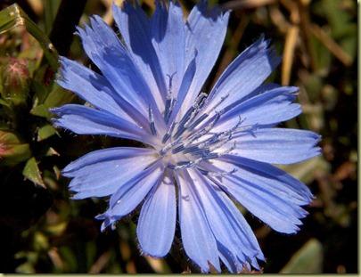 Chicory_flower