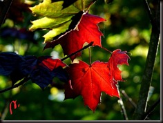 Hojas de Arce Real en otoño