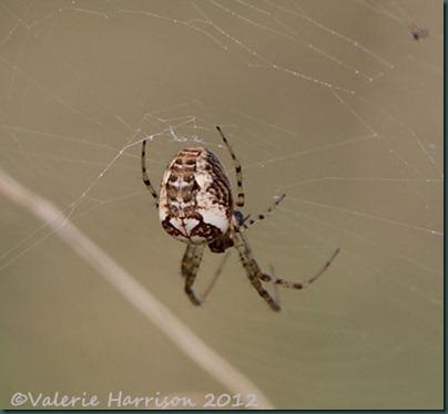 24-spider