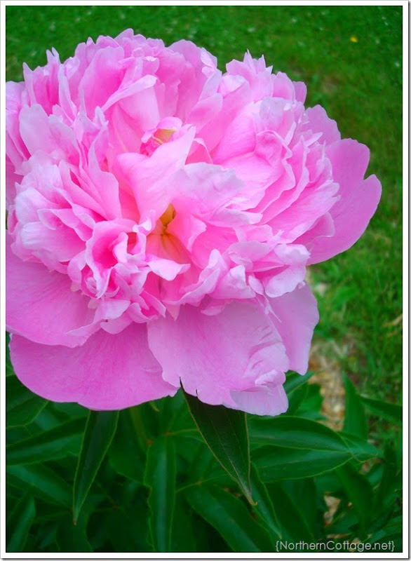{Northern Cottage} Peony close up