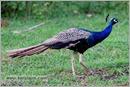 _P6A1757_peacocks_mudumalai_bandipur_sanctuary