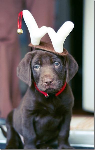 perro gorritos navidad (24)