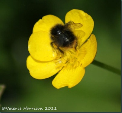 Early Bumble Bee Bombus pratorum 2