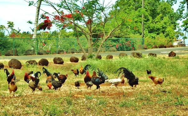 Chickens_ Kaua'i, Hawaii