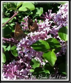 lilacs bloomed2 ARLH