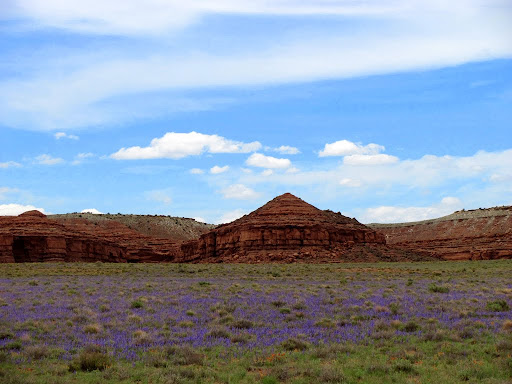 A carpet of purple wildflowers below the Red Ledges