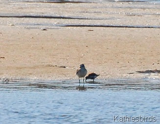 4. plover and dunlin-kab