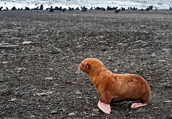 Cute-lonely-ginger-seal-puppy-2