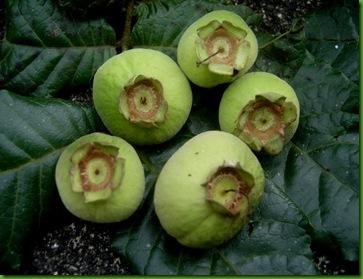 Campomanesia Wilson P (2)