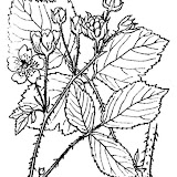 Abbé H. Coste - Flore de la France (1937). Source: http://www.tela-botanica.org/ - This image is in public domain because its copyright has expired.