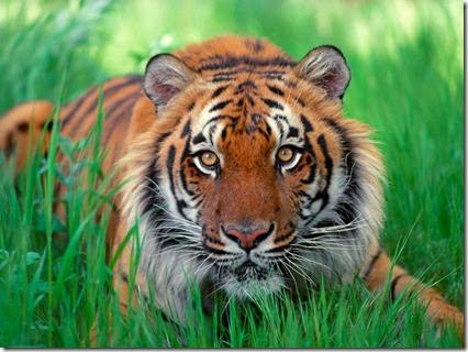 foto de tigres