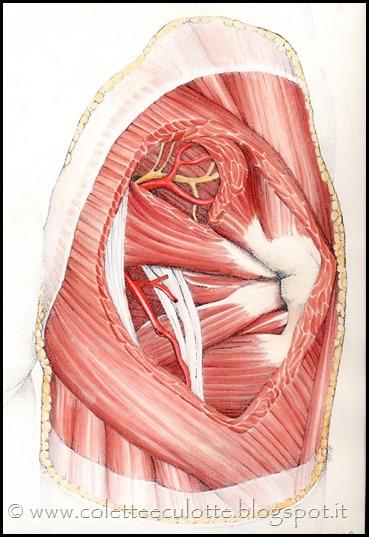fasce muscolari