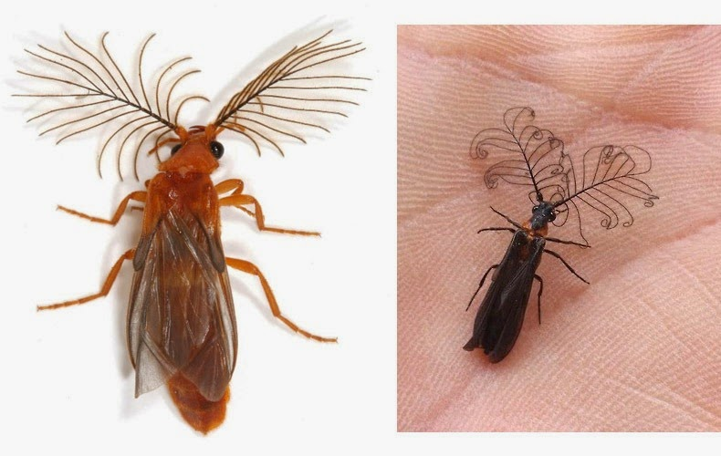 glowworm-beetle-12