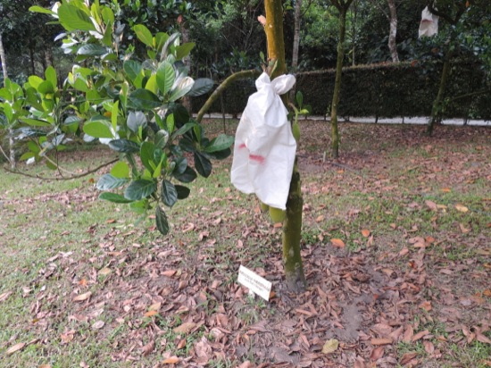 A bagged Jackfruit - the bag keeps the insects off the fruits - and I guess also the monkeys.