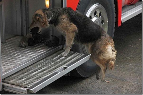 cadela salva filhotes (4)