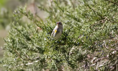 Kleb Woods Yellow Rumped Warbler