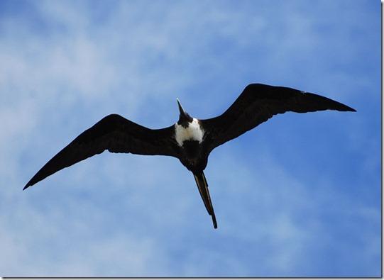 Frigate Bird-4
