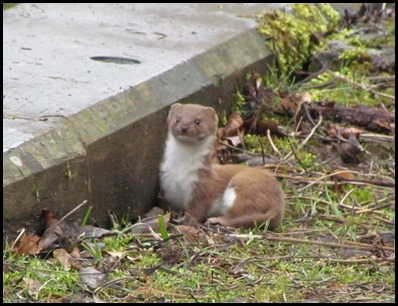 1 Weasel