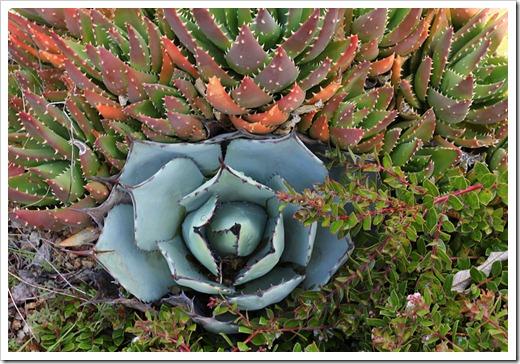 120211_UCSC_Arboretum_Agave-parryi_02