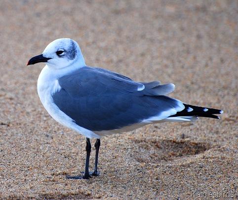 17. laughing gull-kab