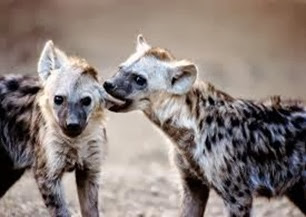 Amazing Pictures of Animals, Photo, Nature, Incredibel, Funny, Zoo, Hyena, Mammals, Alex (5)