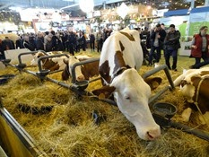 2015.02.26-062 vache montbéliarde