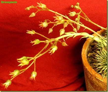 Graptoveria cv. Silver Star (Graptopetalum filiferum X E. agavoides)