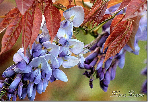 Wiateria_Blue2