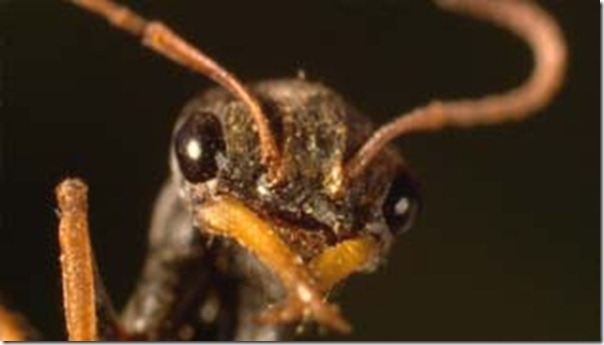 hopper ant